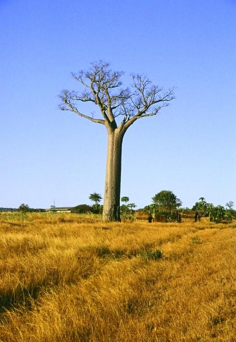 BaobobTree